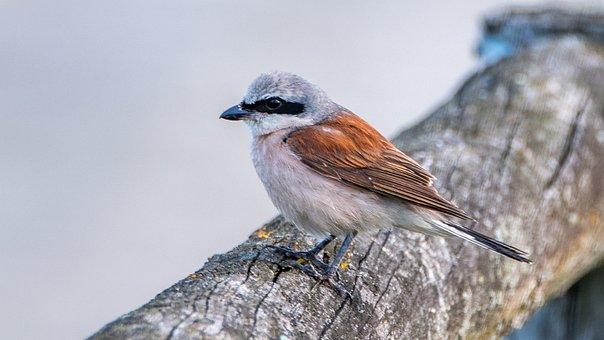 Shrike General, Male, Bird, Sitting