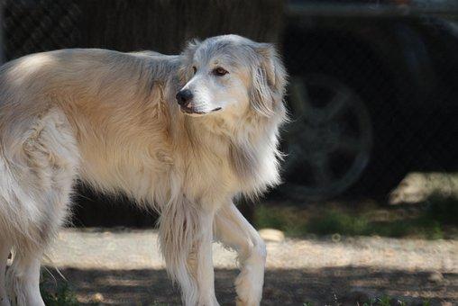 Pyrenees, Dog, Husky, Mutt, Mixed Breed, Pet, White