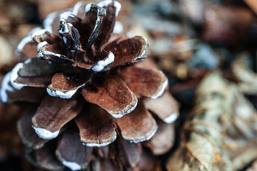 Pinecone, Nature, Macro