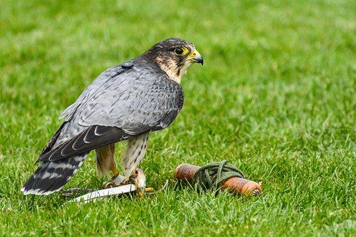 Bird Of Prey, Falcon, Peregrine, Bird, Predator, Nature