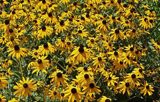 Black-eyed Susan, Flower, Blossom, Bloom, Plant, Garden