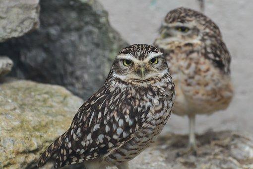 Owl, Little Owl, Bird, Animal, Wild, Nature, Predator