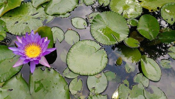 Lotus, Purple, Clear The Net