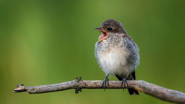 Shrike General, Cub, Bird, Sitting, Branch, Wildlife