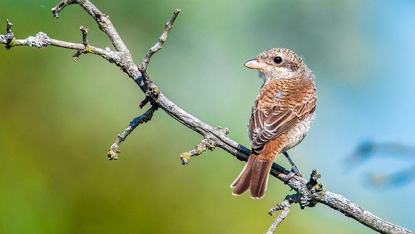 Shrike General, Female, Bird, Sitting, Branch