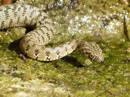 Snake, Water Snake, Raft, Stalking, Predator