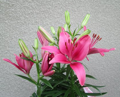 Pink, Purple, Flower, Flowers, Plant, Plants, Summer