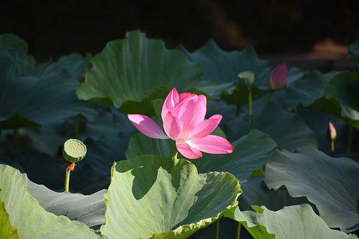 Lotus, Close-up, The Old Summer Palace, Summer