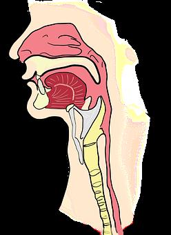 The Larynx, The Pharynx, Anatomy, Human, Mouth