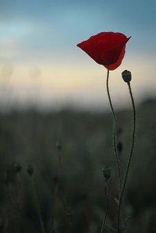 Poppy, Scotland, Summer, Nature, Garden, Wild, Plant