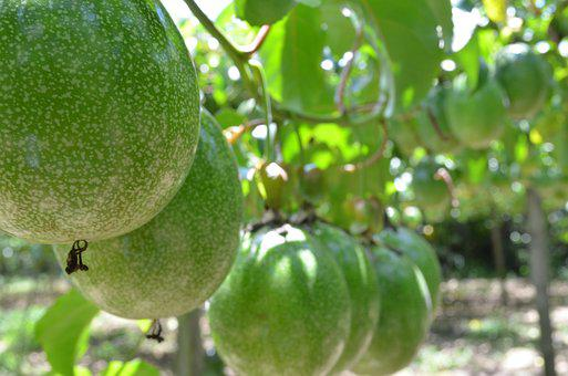 Passion Fruit, Crop, Agronomy, Agriculture