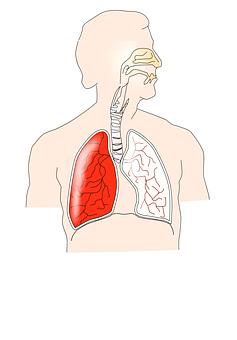 Human, Respiratory, Lungs, Anatomy, Medical, Health
