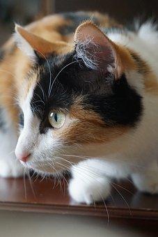 Cat, Lucky Cat, Pet, Mieze, Animal, Close, Three Colors