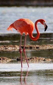 Cuba, Cienaga De Zapata, Flamingo, Bird, Lagoon