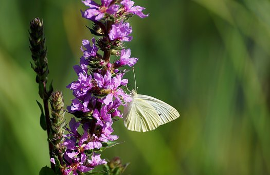 Weis Sling, Butterfly, Close, Insect, Blossom, Bloom