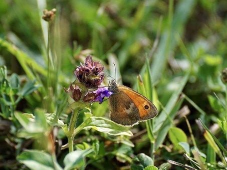 Small Meadow Bird, Fire Falter, Butterfly, Butterflies