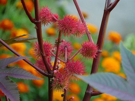 Castor Oil Plant, Wonder Tree, Fruits, Pink, Plant