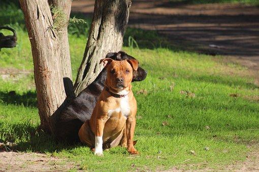 Staffy, Staffordshire Bullterrier, Bullterrier, Dog