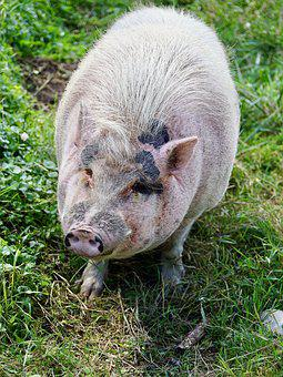 Pig, Animal, Happy Pig, Farm, Agriculture, Domestic Pig