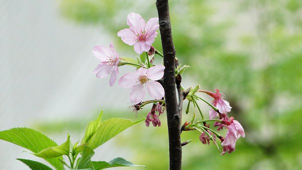 Flowering, Cherry Blossoms, Boom-and-bust, Born Old