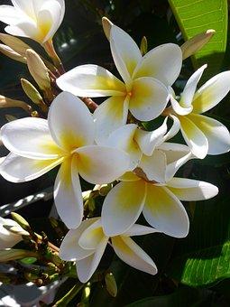 Asia, Centuri-park, Frangipani Flowers