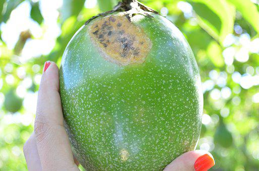 Passion Fruit, Crop, Fungus, Agronomy, Agriculture