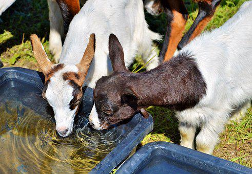 Goat, Prima Donna, Geiss, Little Kids, Watering Hole