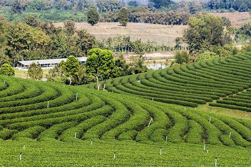Hill, Tea, Green, Farm, Landscape, Nature, Asia, Field