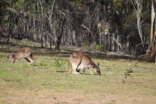 Flinders Ranges, Outback, Outdoors, Kangaroo, Joey