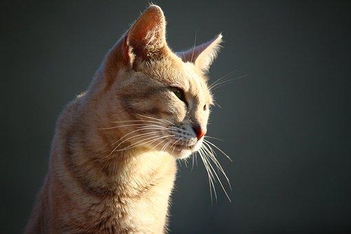 Tiger Cat, Mieze, Cat, Kitten, Mackerel, Breed Cat
