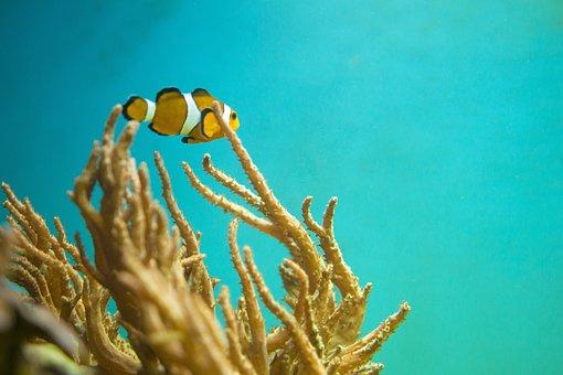 Nemo, Fish, Underwater, Sea, Marine, Reef, Clown