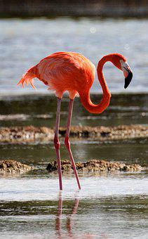 Cuba, Flamingo, Bird, Lagoon, Wildlife, Nature, Fauna