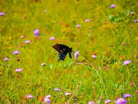 Pipevine Swallowtail, Wildflowers, Butterfly, Nature