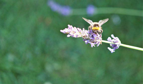 Bumble Bee, Honey, Bee, Bumble, Nature, Insect, Pollen