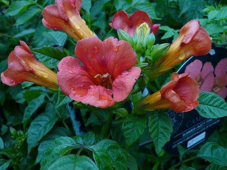 Flower, Nature, Funnel-flowering, Red Orange