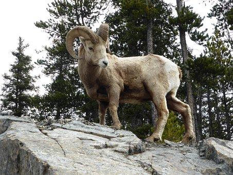Capricorn, Rock, Horn, Ungulate, Climbing