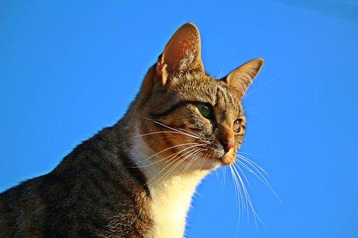 Tiger Cat, Mieze, Mackerel, Cat, Kitten, Domestic Cat