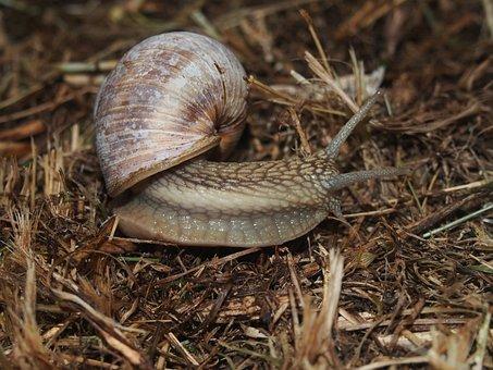 Snail, Vinbergssnigel, Slug, Closeup, Nature, Insect