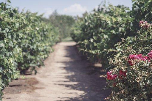 Garden, Wine, Grape, Green, Agriculture, Vineyard