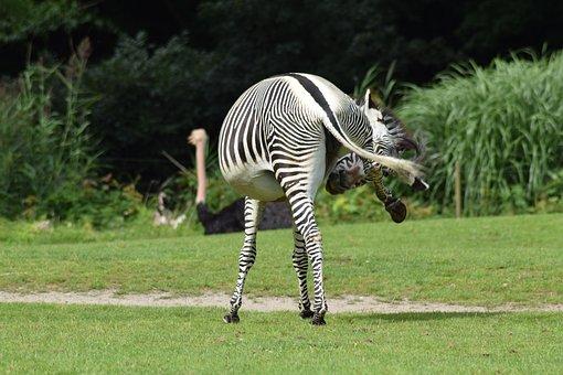 Animal Recording, Safari, Zebra, Stripes, Funny, Animal