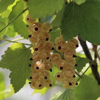 Currant, Summer, Berry, Fruit, Antioxidants, Ripe
