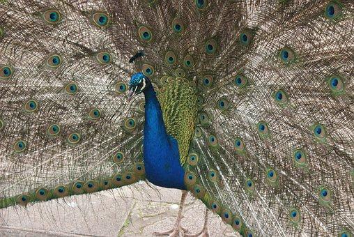 Beautiful, Peacock, Full, Tail B, Blue, Male, Bird