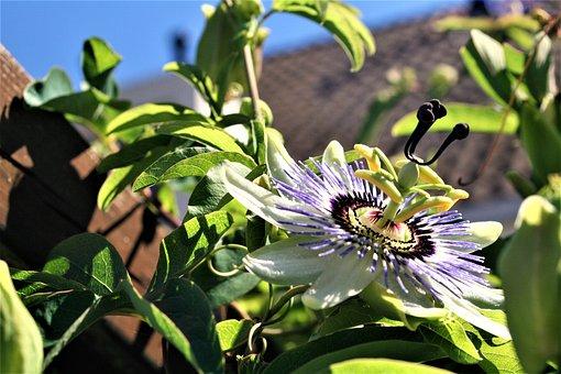 Passion Flower, Blossom, Flower, Bloom, Floral, Petal