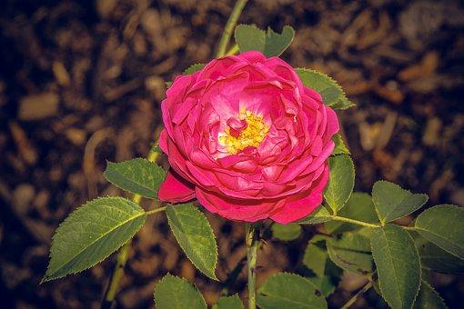 Rose, Blossom, Bloom, Close, Rosaceae, Velvet