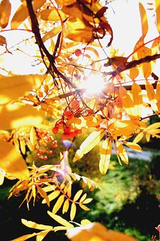 Autumn, Rowan, Autumn Leaves, Nature, Clusters Of Rowan