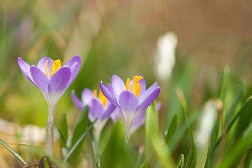 Flowers, Crocus, Spring, Nature, Spring Flower, Purple