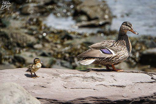 Nature, Lake, Brooklyn Bridge Park, Ducks, Baby Duck