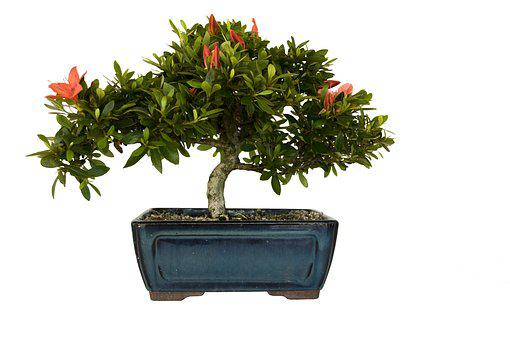 Bonsai, Azalea, Plant, Leaf, Flowers, Green, Blue