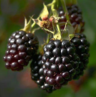 Blackberry, Berries, Fruit, Bush, Rubus Sectio Rubus