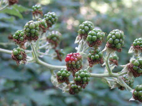 Blackberry, Unripe Berries, Fruit, Immature